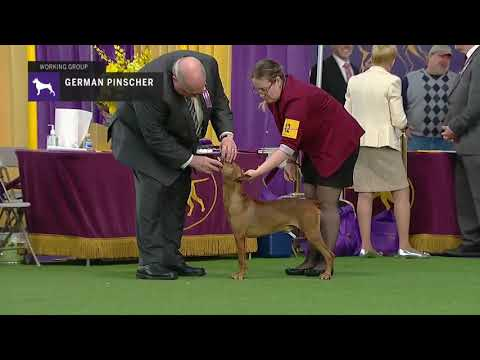 German Pinschers | Breed Judging 2019