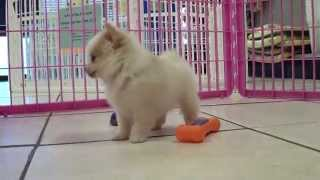 Pomeranian, Puppies, For, Sale, In, Lexington, County, Kentucky, Ky, Bowling Green, Owensboro, Covin