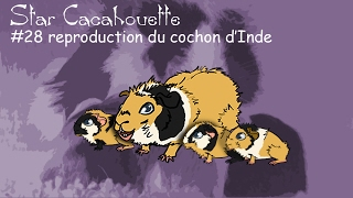 reproduction du cochon d'Inde