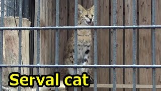 Serval cat singing サーバルちゃん 鳴く【羽村市動物公園】 thumbnail