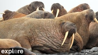 Walrus Cam - Round Island powered by EXPLORE.org
