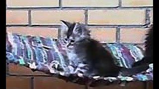Котята мейн кун онлайн