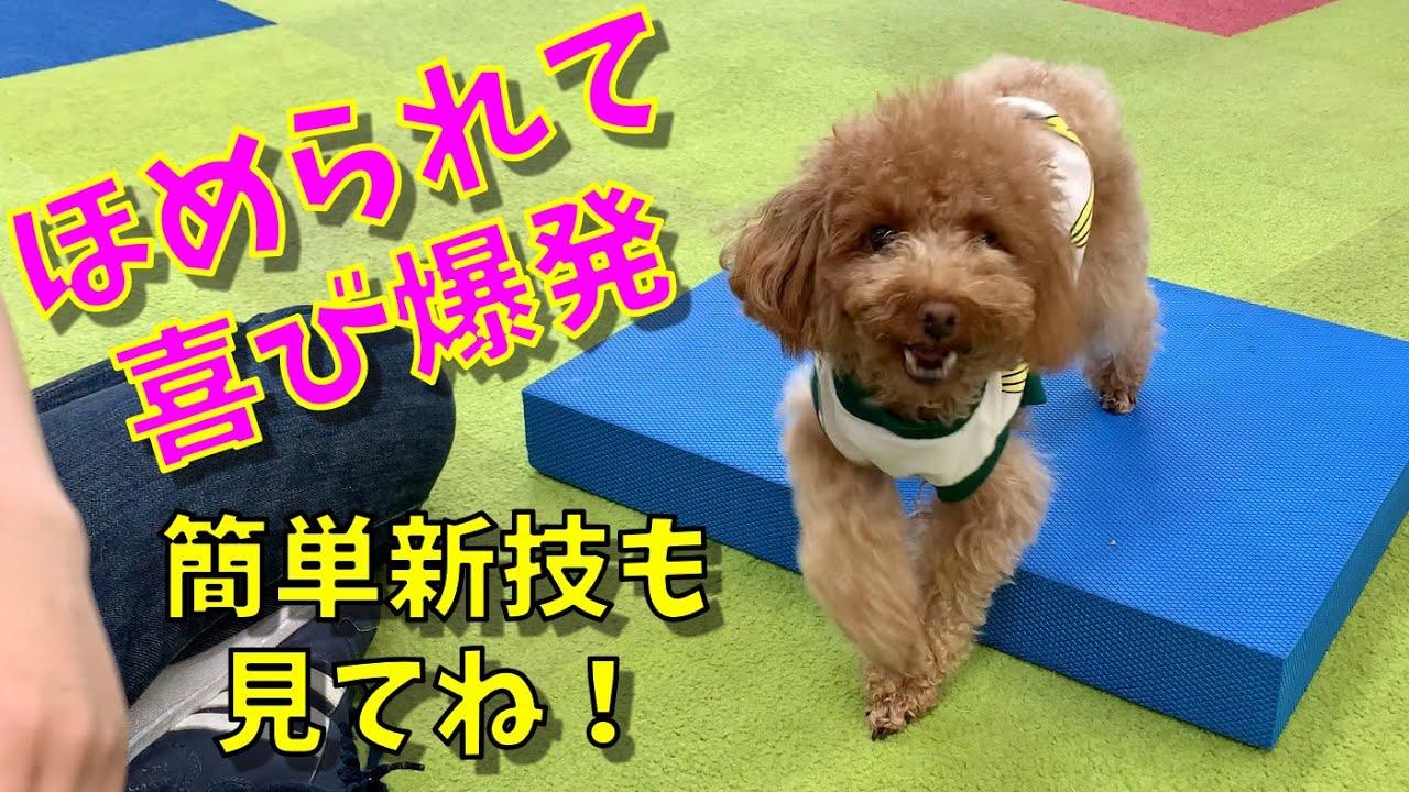 【しつけ教室】褒められて大喜びする犬【トイプードル】