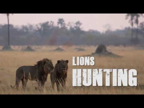 Lions Hunting in Hwange National Park