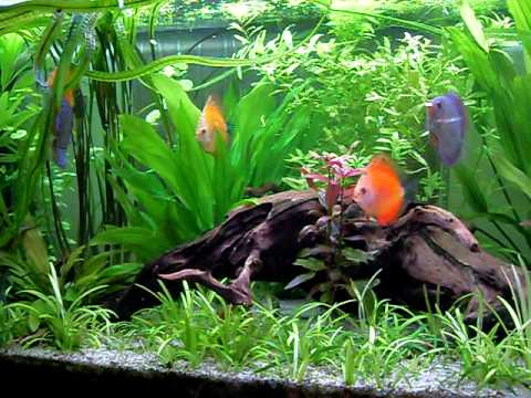 Diskus aquarium 375l youtube for Diskus aquarium