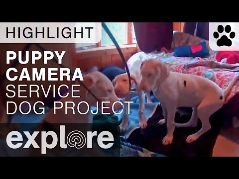 Great Dane Puppies Play with Camera - Service Dog Project - Live Cam Highlight