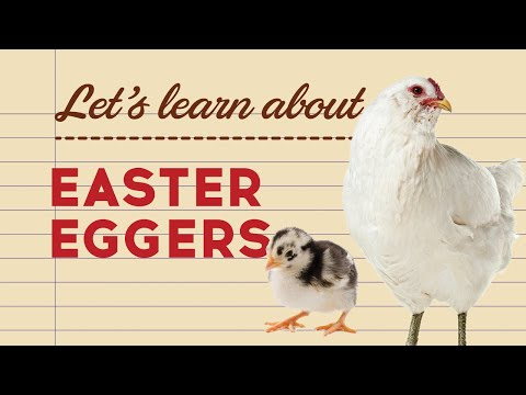 Easter Eggers - Popular Egg Laying Breeds