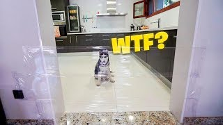 ¿COMO REACCIONAN MIS PERROS AL VER UNA PARED INVISIBLE? **HUSKY SIBERIANO** [Shooter]