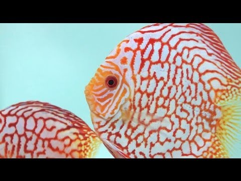Checkerboard Diskusfische | Checkerboard Discus Fishes