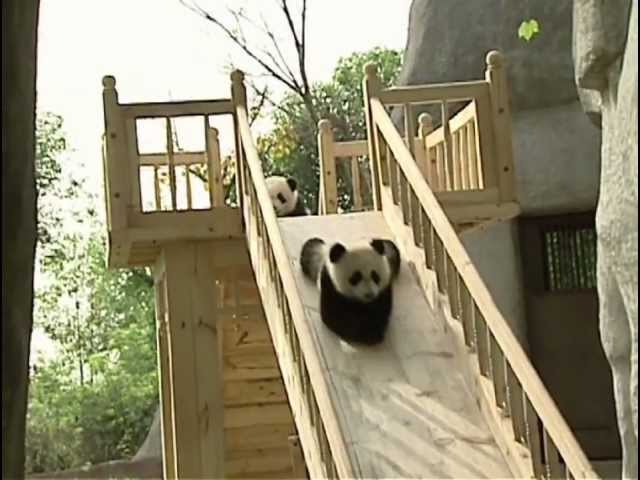 Cute pandas playing on the slide Travel Video