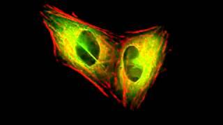 Actin and tubulin during mitosis