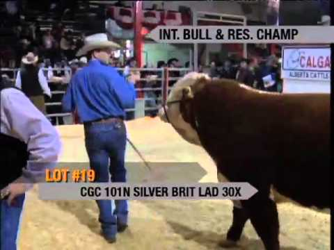 Calgary Bull Sale Hereford