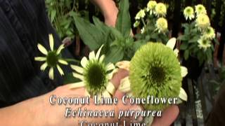 New Echinacea Varieties