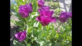 Что нужно делать с тюльпанами весной! Луковицы крупные!