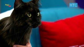 Большая кошка породы Мейн-кун: характер, уход, питание / УтроLive / НТС