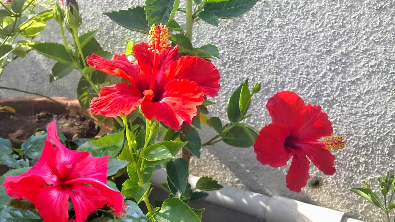 Caring for hibiscus home treatment for hibiscus plant caring for hibiscus home treatment for hibiscus plant youtube izmirmasajfo