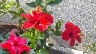 Caring for hibiscus || home treatment for  hibiscus plant,राख के यूज से कीड़ो से छुटकारा