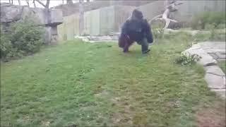 Download Gorila se irrita e quebra vidro Mp3