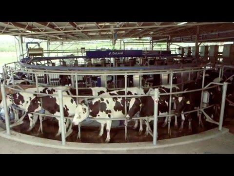 Robotic milking at Camden
