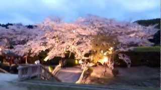 嶋大臣蘇我馬子の御陵とされる奈良県明日香村の石舞台古墳の桜。 http:/...