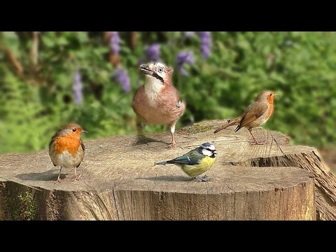 Videos for Cats To Watch – Birds Chirping and Bird Sounds in Bluebell Garden