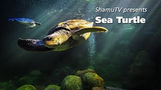 ShamuTV: Saving a Species - Sea Turtle