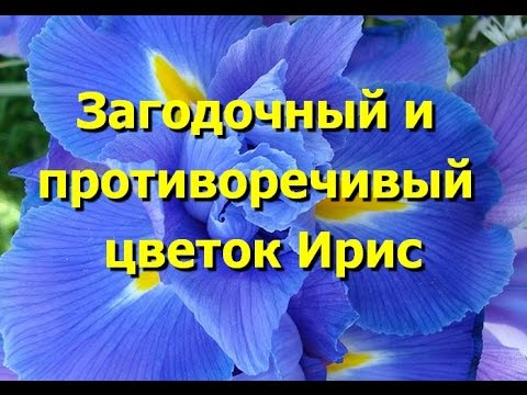 Загадочный и противоречивый цветок ирис. Красивые фото ирисов