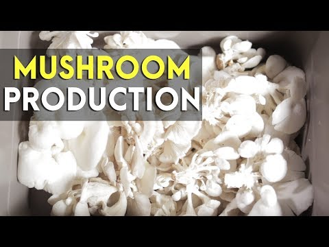 Mushroom Production: Koko's Mushroom | Agribusiness How It Works