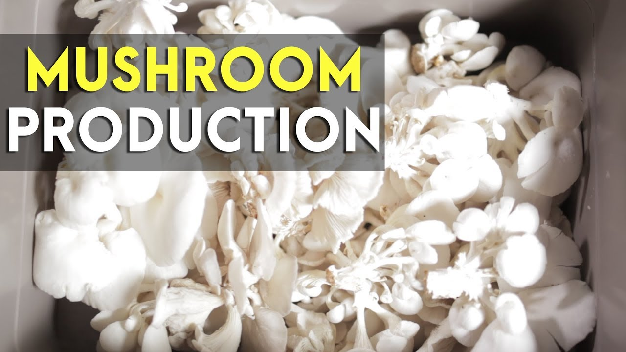 Mushroom Culture in the Philippines: What Made Koko's Mushroom Successful