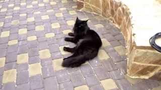 мой прекрасный кот мейн кун Генрих в апортаментах