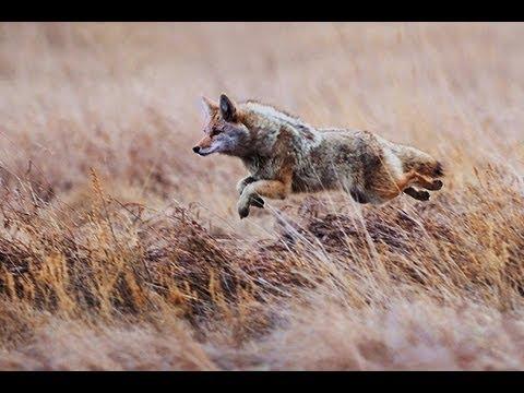 Coyote running @ 45 MPH! Predator Strikeforce - YouTube  Coyote running ...