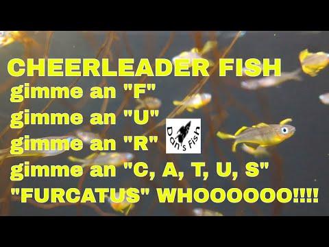 Pseudomugil Furcatus - Wave Those Pom Poms!!!
