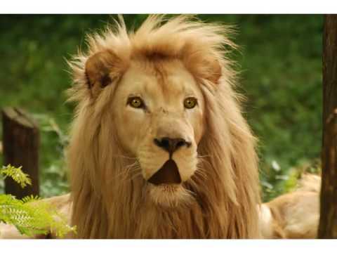 talking lion cartoon animation youtube