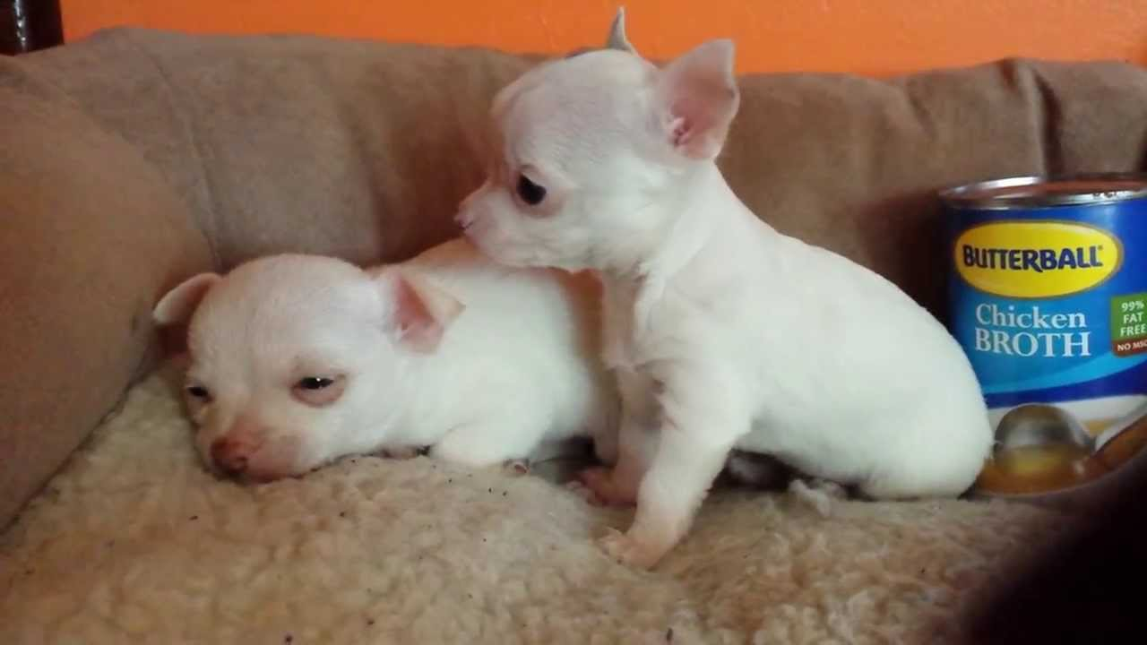 Tiny white teacup chihuahuas male adorable!!! - YouTube