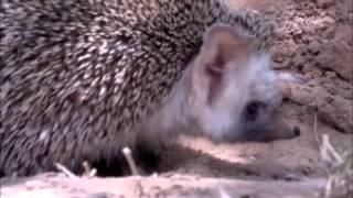 القنفذ Hedgehog