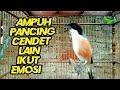 Cendet Apapun Bakalan Gacor Dan Emosi Ketika Mendengar Suara Cendet Ini  Mp3 - Mp4 Download