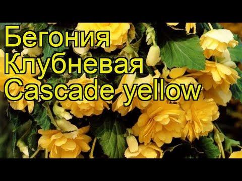 Бегония клубневая (Cascade yellow). Краткий обзор, описание характеристик, где купить луковицы