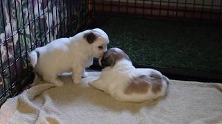 Coton Puppies For Sale - 2/20/20