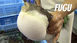 Repeat youtube video Fugu-fish: risky Japanese delicacy. English version