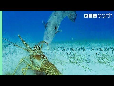 Lobsters Vs Trigger Fish | Trials Of Life | BBC Earth
