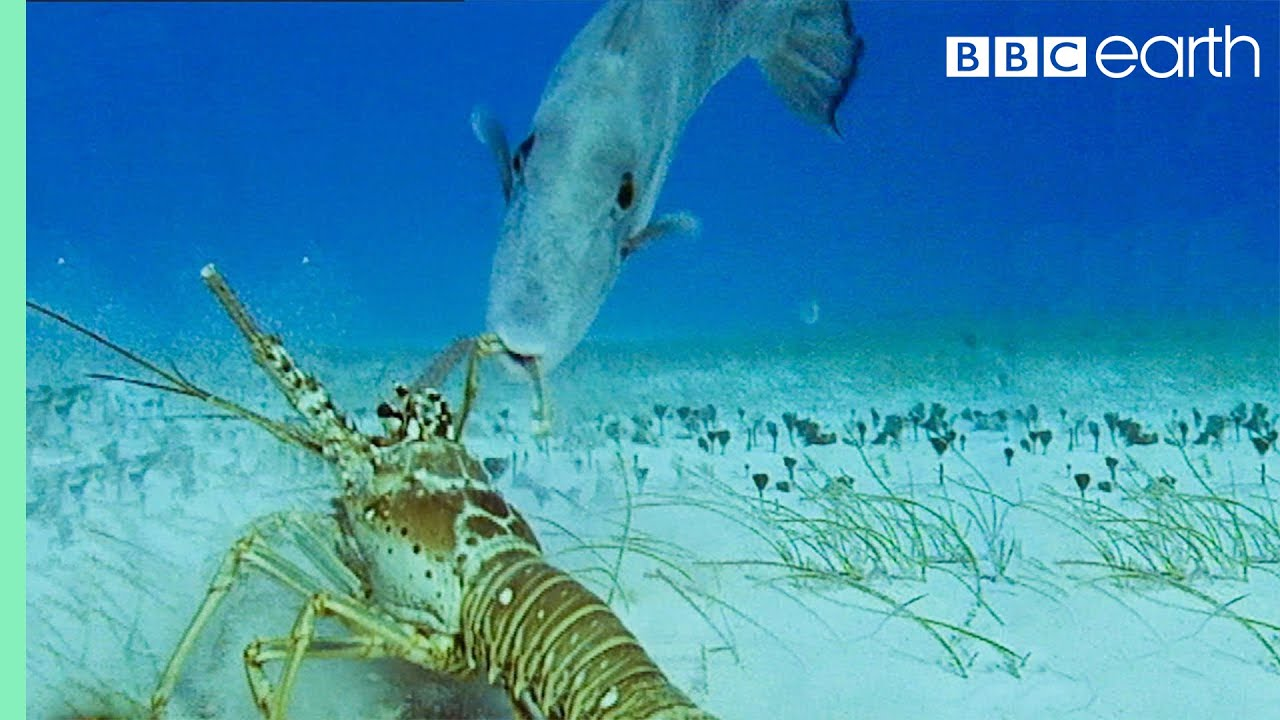 lobsters vs trigger fish