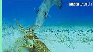 Lobsters vs Trigger Fish  Trials Of Life  BBC Earth