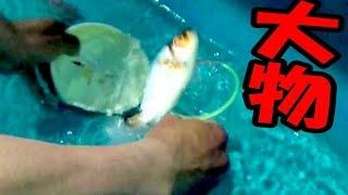 【大物金魚すくい】モンスター金魚をすくってみせる! thumbnail