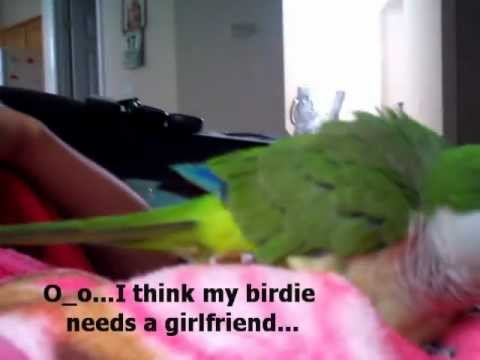 Bobo the Quaker Parrot wants a Mate