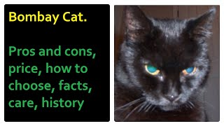 Bombay Cat. Pros and Cons, Price, How to choose, Facts, Care, History