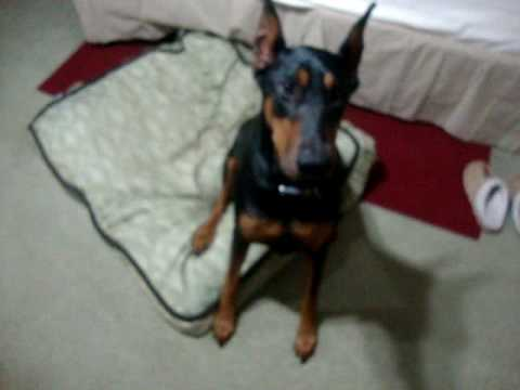 Smart DOBERMAN  does tricks