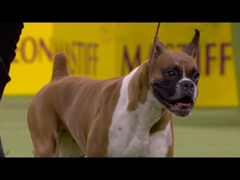 'Wilma' the boxer wins the Working Group at 2020 Westminster Dog Show