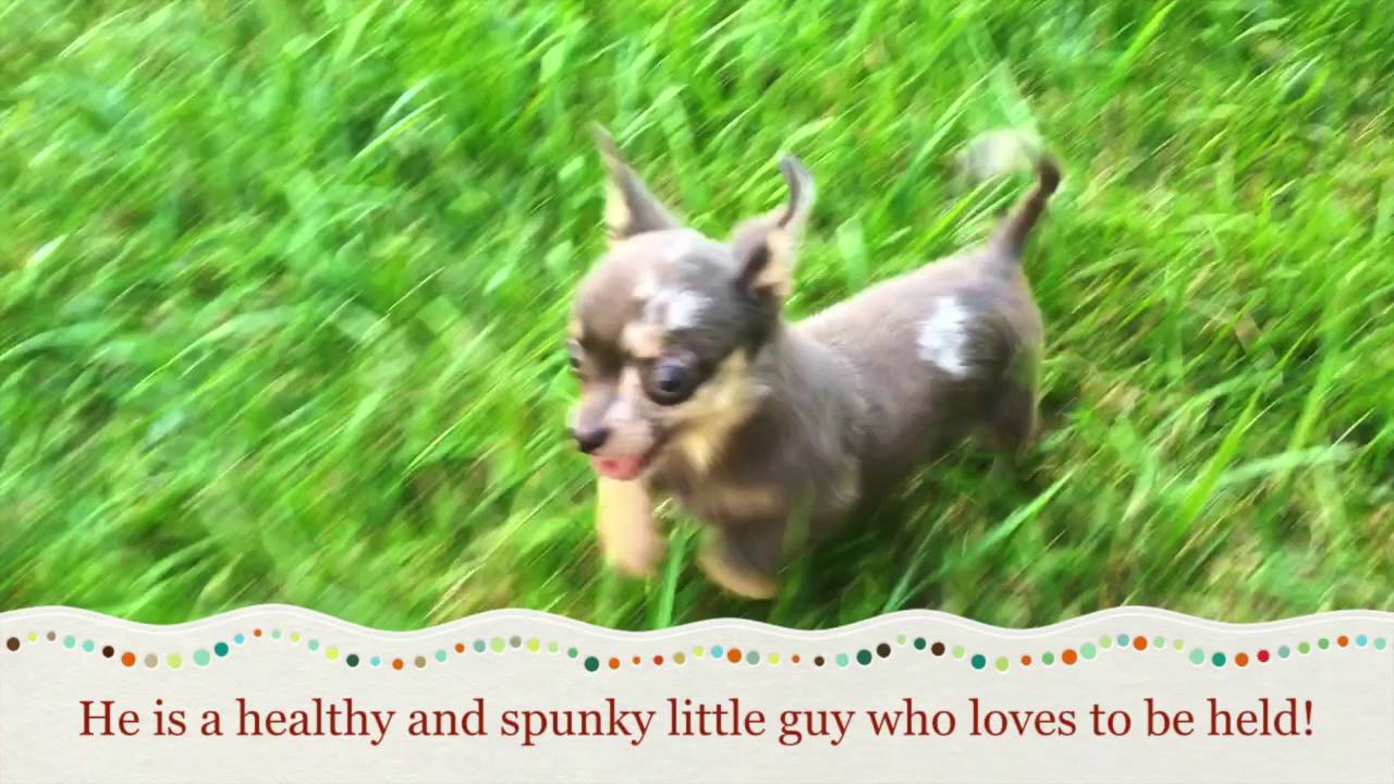 Teacup Chihuahua Puppy For Sale In Greensboro Nc Youtube