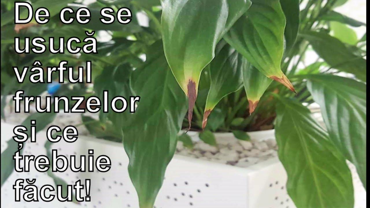 medicamente pentru paraziți de flori fascioliaza este o boală