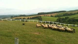 羊と雲の丘でシープドックショーを見ました。